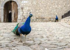 Peacock at the Monastery of Saint Naum, North Macedonia