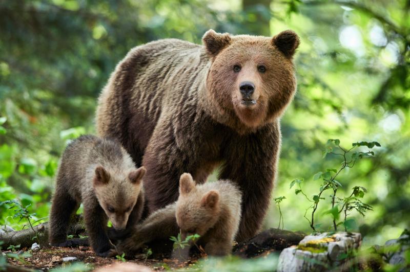 Brown bear safari in Slovenia